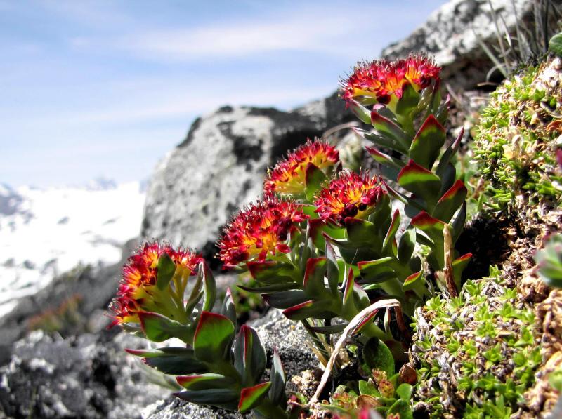 rhodiola rosea1 Blog
